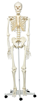 human skeleton models at osteolab supplies uk - free delivery on, Skeleton