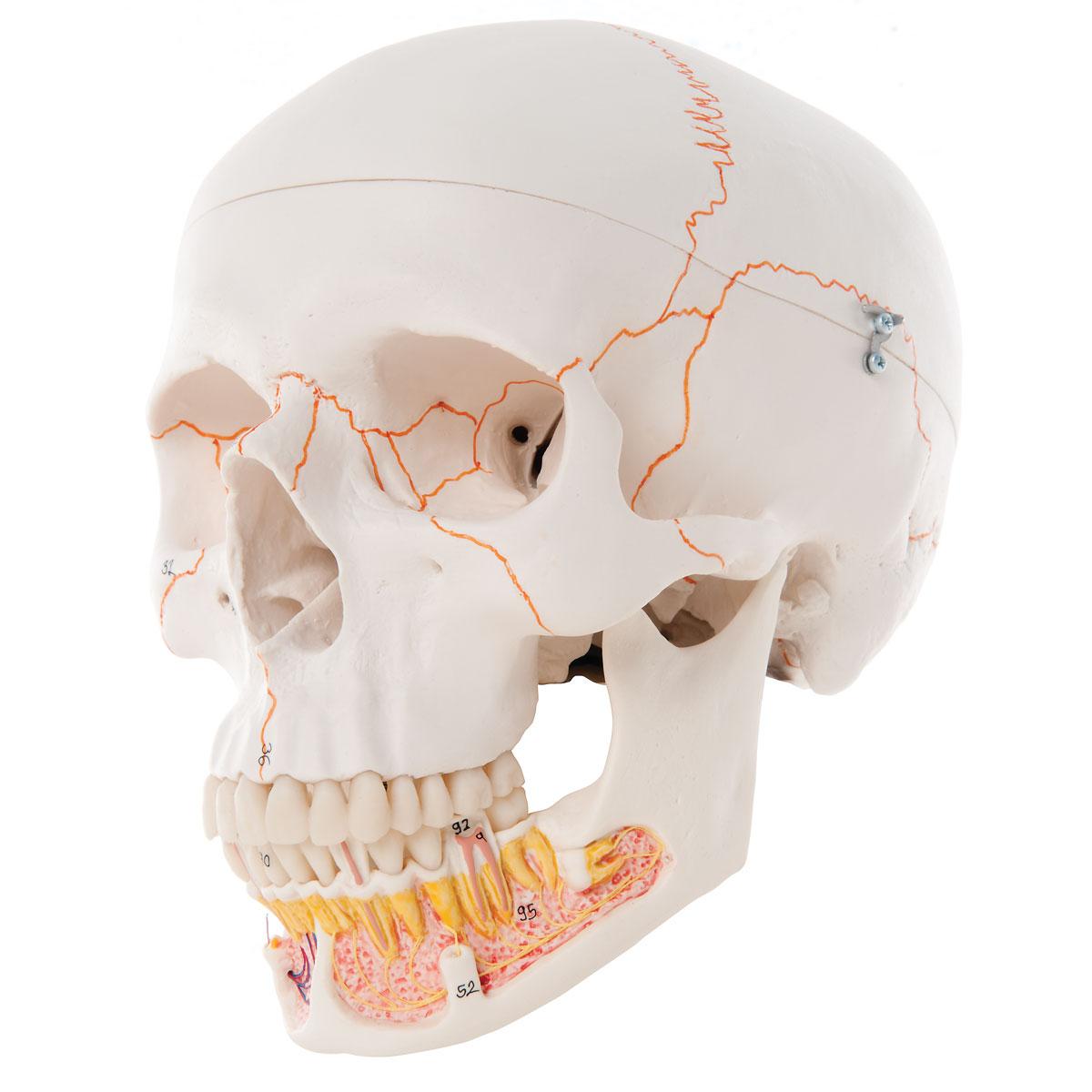 Atemberaubend Anatomy Of The Human Jaw Galerie - Menschliche ...